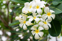 White and Yellow Blooms of a Plumeria Tree Royalty Free Stock Photos