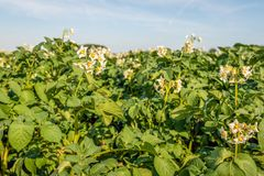 White-yellow blossoms of potato plants up close. Close-up of white-yellow blossoms of potato plants silhouetted against the blue sky. It is a sunny day in the royalty free stock photos