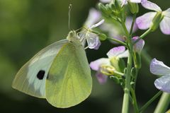 White-yellow butterfly collects nectar stock photography