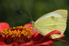 White-yellow butterfly collects nectar stock images