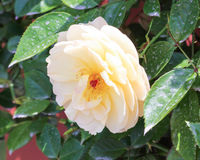 White yellow Camellia flower Stock Photos