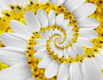 White yellow camomile daisy cosmos kosmeya flower spiral abstract fractal effect pattern background White flower spiral abstract. White yellow camomile daisy royalty free stock photography