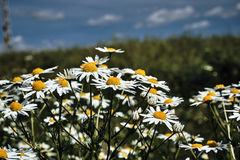 White and yellow camomile flowers Stock Photo