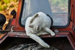 White yellow cat sits on a red tractor in nature.Domestic animal.Outdoor stock images