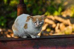 White yellow cat sits on a red tractor in nature.Domestic animal.Outdoor. White yellow cat sits on a red tractor in nature.Domestic animal fur kitten pet eye royalty free stock photo