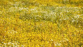 White and yellow chamomile flowers on meadow. Travel to France - panoramic view of white and yellow chamomile flowers on meadow on atlantic coast in Paimpol town Royalty Free Stock Photography