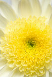 White and yellow chrysanthemum Stock Images