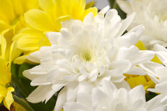 White and yellow chrysanthemum Stock Photos