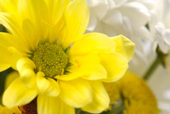 White and yellow chrysanthemum Stock Image