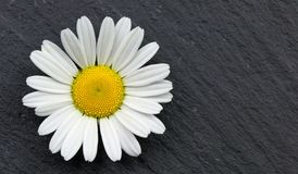 Daisy flower on a slate grey background. canvas wall art. White and yellow chrysanthemum daisy flower on a slate grey background. Bright and beautiful summer Stock Photos
