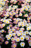White and yellow Chrysanthemum Royalty Free Stock Images