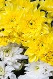 White and yellow chrysanthemums Stock Image