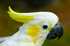 White & Yellow Cockatoo Profile. A profile view of a white and yellow cockatoo with his crown partially erected Royalty Free Stock Photo