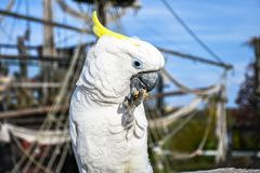 White yellow crested Cockatoo, Cacatua galerita, standing on an old wooden pirate boat eating cracker. White yellow crested Cockatoo, Cacatua galerita, standing royalty free stock photo