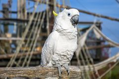 White yellow crested Cockatoo, Cacatua galerita, standing on an old wooden boat royalty free stock images