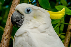 White Yellow crested cockatoo Royalty Free Stock Photography