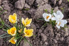 White and yellow crocus flower Royalty Free Stock Photo