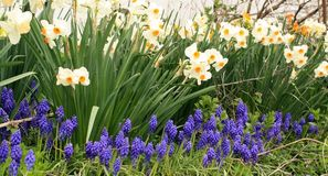 Yellow and white daffodil flowers with grape hyacinths. White and yellow daffodil flowers with grape hyacinths flowers in front of them all in front of a white stock image