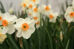 Yellow and white daffodil flower some front. White and yellow daffodil flowers two in the front in focus. Others in soft focus in the back. In a flower garden royalty free stock image