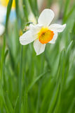 White and yellow Daffodil (Narcissus Tazetta). Beautiful white and yellow Daffodil (Narcissus Tazetta) on green background Stock Photography