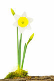 White and yellow daffodil plant Royalty Free Stock Photos