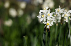 White yellow daffodils Stock Photo