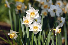 White and yellow daffodils. In a field royalty free stock images