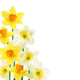 White and yellow daffodils Stock Photos