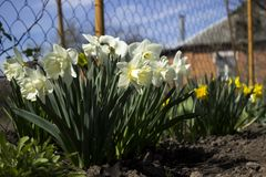 White and yellow daffodils in bloom near the fence. On the background of the brick house. Spring flowers stock photos