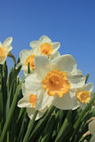 White and yellow daffodils Stock Images