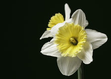 White and Yellow Daffodils Isolated. A pair of white and yellow daffodil isolated on a white dark green background Stock Image