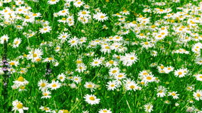 White and Yellow Daisies Royalty Free Stock Images