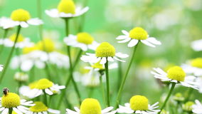 White and yellow daisies stock video footage
