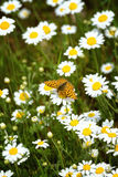 White and yellow daisies with Silver-washed Fritillary Argynnis Stock Images