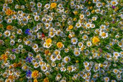 White and yellow daisies, Wales stock images