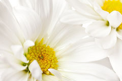 White and yellow daisy Stock Photography
