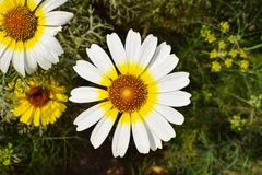 A white and yellow daisy in agarden stock images