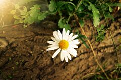 White Yellow Daisy Flower Royalty Free Stock Photos