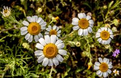 White And Yellow Daisy Flowers Stock Photos