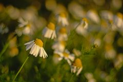 White and yellow daisy flower field, selective focus. Background of white and yellow daisy flower field, selective focus - Asteraceae Royalty Free Stock Image