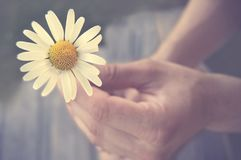 Daisy held by a persons hand. White and yellow daisy held in a hand royalty free stock images