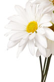 White and yellow daisy isolated Royalty Free Stock Image