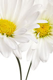 White and yellow daisy isolated Royalty Free Stock Photo