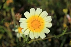 White and yellow daisy in spring stock photos