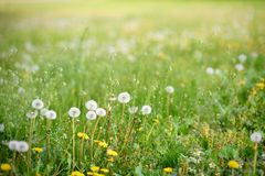 White and yellow dandelion flowers in spring. Meadow Stock Image
