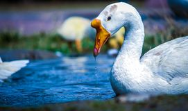 White and Yellow Duck on Body of Water Stock Photo
