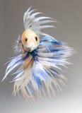 White yellow fighting fish Stock Photo