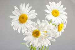 White and Yellow Flower Stock Images