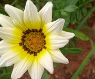 White and yellow flower Royalty Free Stock Image