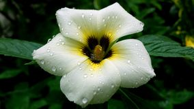 White and yellow flower. Beautiful white and yellow flower in the garden with some rain droplets Royalty Free Stock Photo